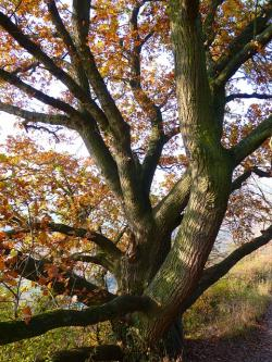 oak, tree, autumn, leaves, tribe, colorful, branches