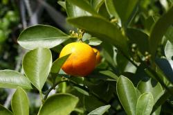 orange tree, orange, tree, branches, leaves, green
