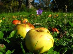 orchard, meadow, apple