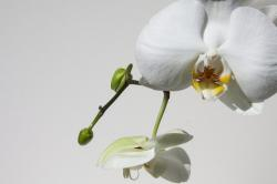 orchid, bud, white, flower, flora, nature