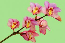 orchid, flower, pink, nature, bloom, green