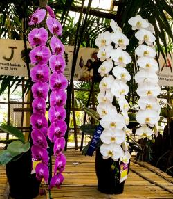 orchid, flower, white, purple