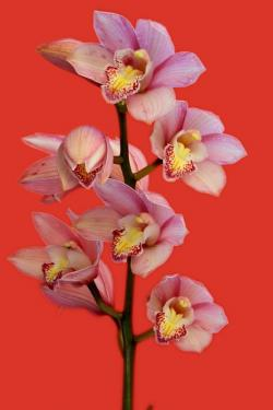 orchid, flowers, plant, pink, bloom, red