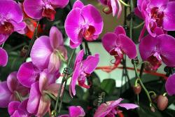 orchid, orchids, purple, family, flowers, flower
