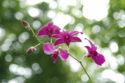 orchid, purple, flower
