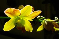 orchid, yellow, flower, transmitted light