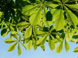 ordinary rosskastanie, leaves, chestnut, tree, foliage