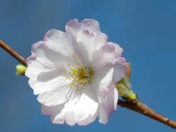 ornamental cherry, flower, close, large, flowers, pink