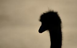 ostrich, silhouette, bird, summer, head, neck
