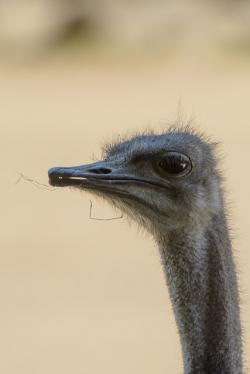 ostrich, young, head, portrait, close-up, bird, life