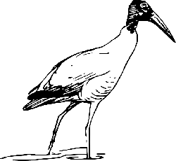 outline, bird, ibis, walking, animal, lake
