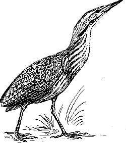 outline, bird, stand, walking, animal, bittern