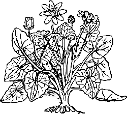 outline, plant, nature, lesser, celandine