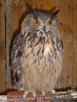 owl, bird, owls, nocturnal, nature, feathers, perched