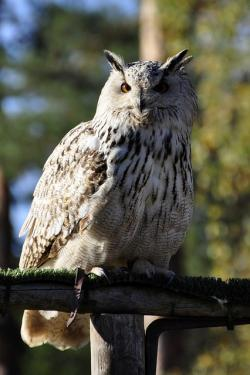 owl, eagle owl, raptor, bird, bird of prey, plumage