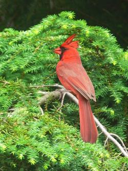 painting, artistic, illustration, bird, red cardinal