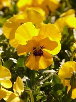 pansy, violet, yellow, flower, plant, garden pansy