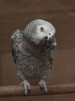 parrot, african, grey, bird, perch, portrait, closeup