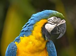 parrot, bird, yellow, blue, wildlife, brazil