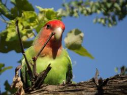 parrot, lovebird, alone, bird, plumage