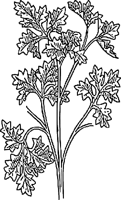 parsley, biology, plant, leaves
