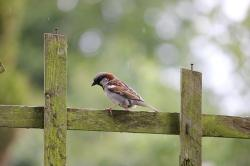passer domesticus, house sparrow, sparrow, bird, fence