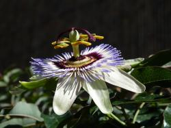 passiflora, flower, passion flower, passion vines