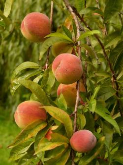 peaches, peach tree, malum persicum, fruit, ripe, juicy