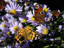 peacock, butterfly, insect, flower, nature, flowers