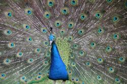 peacock, colorful, feathers, bird, blue