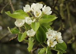 pear blossom, white, tender, spring