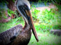 pelican, birds, animal, feathers, nature, brown
