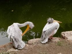 pelican, water, zoo, bird