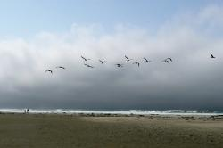 pelicans, birds, nature, animals, beach, pacific