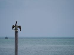 pelikan, florida, key west, water, coast