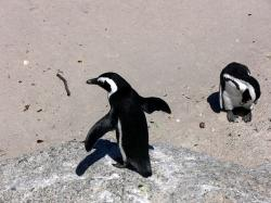 penguin, jackass, simon town, south africa, wildlife