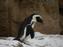 penguin, zoo, animal, antarctica, penguins