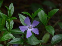 periwinkle, flower, plant, spring, blue, semi shrub