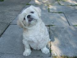 pet, dog, shih tzu, pedigree, breed, dogs, pets