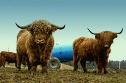 pets, pasture, highland cattle, scottish hochlandrind