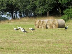 pets, storks, birds, nature, hay bales, straw