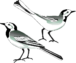 pied wagtail, bird, white wagtail, animal