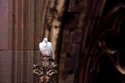 pigeon, bird, white, cathedral, top, roof, fly