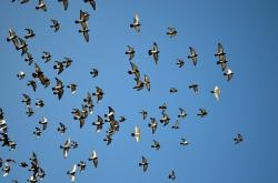 pigeons, pigeon, bird, animal, sky, blue, flock