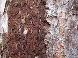 pine, bark, brown, nature, structure