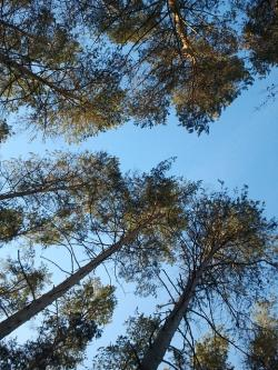 pine, from the bottom, sky