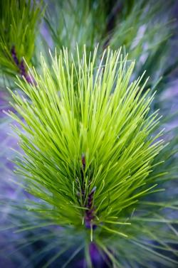 pine needles, forest, trees, pine, nature, pine branch