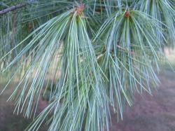 pine, needles, tree, grass