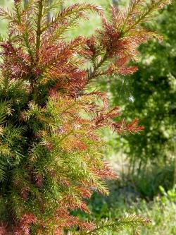 pine, tree, green, red