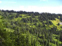 pine, tree, mountain, park, forest, evergreen